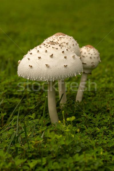 Mushroom Stock photo © pazham
