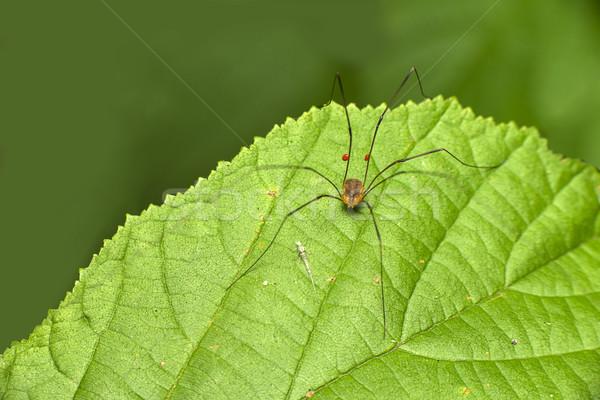 Hosszú lábak aranyos apuci pók levél természet Stock fotó © pazham