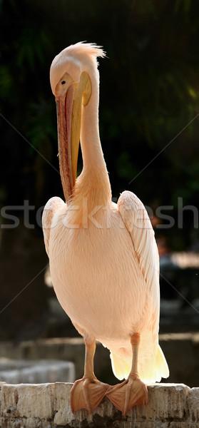 White Pelican Stock photo © pazham