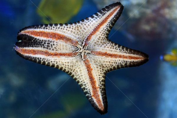 Star Fish Stock photo © pazham