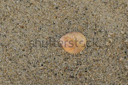 シェル 美しい 海浜砂 夏 スペース 青 ストックフォト © pazham