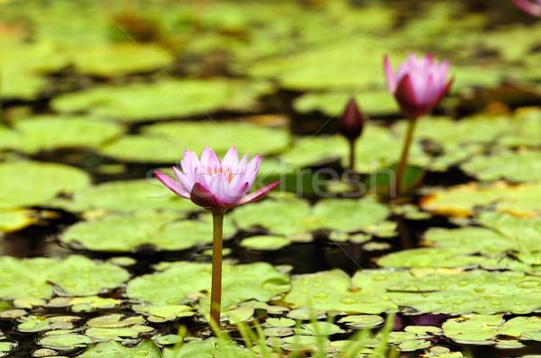 Víz liliom kettő rózsaszín liliomok helyi Stock fotó © pazham