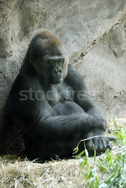 Gorilla Stock photo © pazham