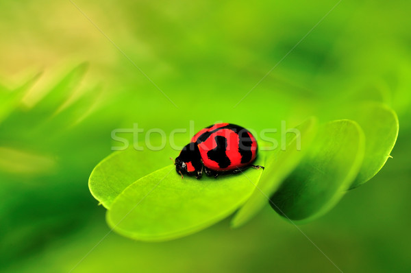 Dame bug belle macro feuille verte Retour Photo stock © pazham