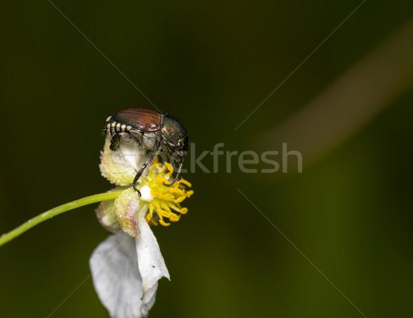 Stock photo: Japanese Beetle
