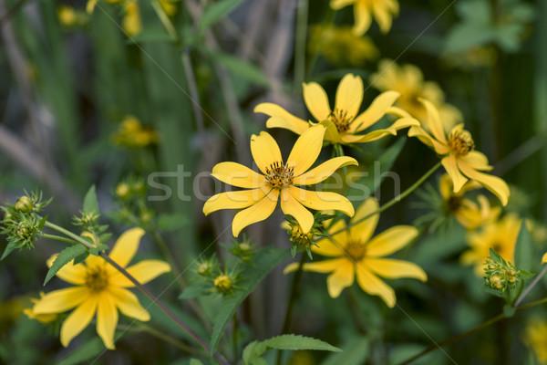 Barbu plein fleurir printemps tournesol couleur Photo stock © pazham