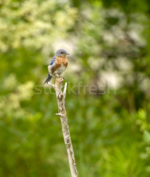 Eastern Bluebird Stock photo © pazham