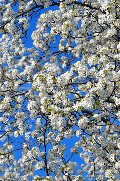 白 春の花 明るい 晴れた 春 ストックフォト © pazham