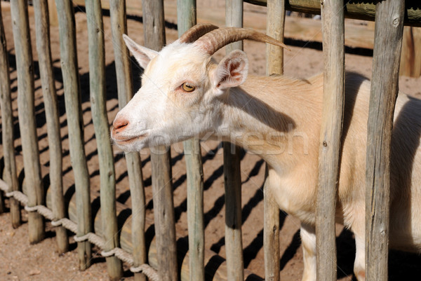billy goat Stock photo © pdimages