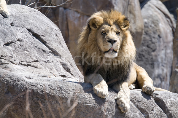 Rey sesión rock gato león animales Foto stock © pdimages