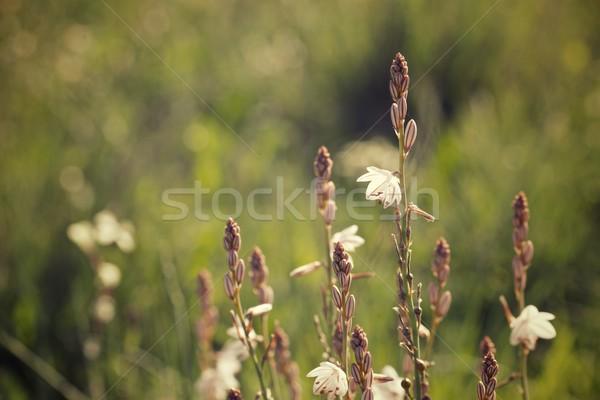 Dziki kwiat kwiat trawy różowy piękna Zdjęcia stock © pedrosala