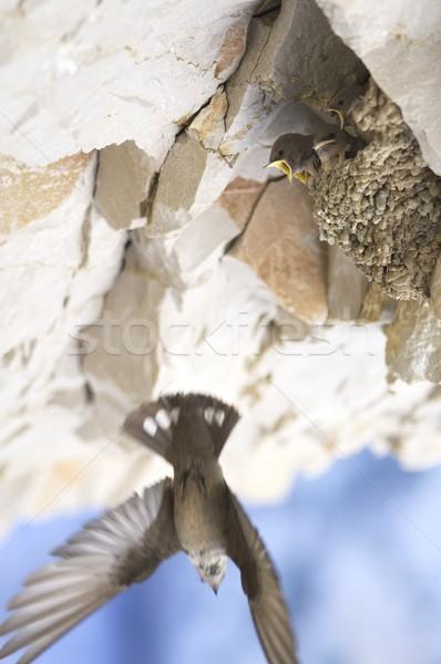 bird chicks Stock photo © pedrosala