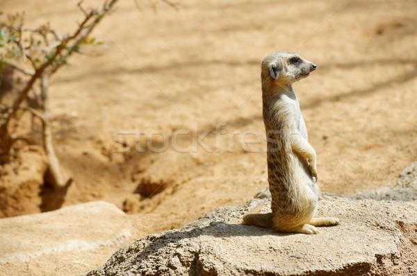 Meerkat in a zoo Stock photo © pedrosala