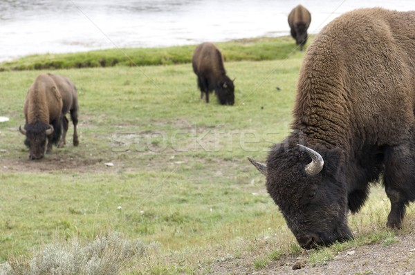 Bison Stock photo © pedrosala