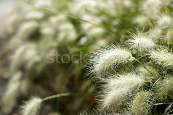 Feather grass Stock photo © pedrosala