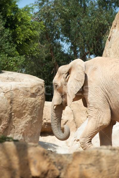 Fil yürüyüş hayvan esaret Valencia İspanya Stok fotoğraf © pedrosala