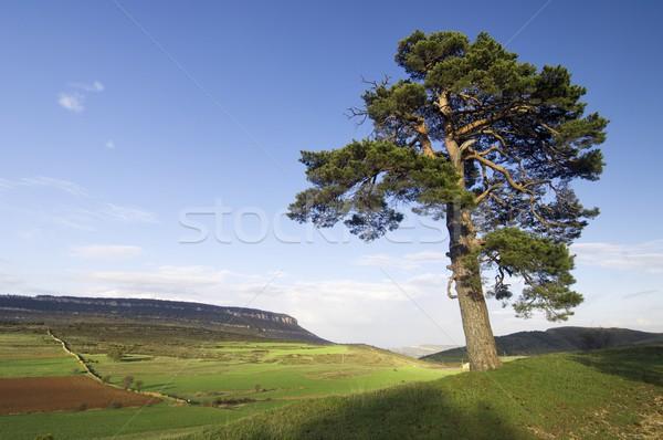 meadow with tree Stock photo © pedrosala