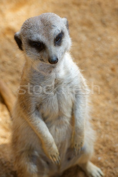 Meerkat in a zoo Stock photo © pedrosala