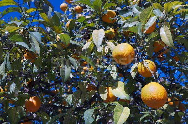 Narancsfa város gyümölcs narancs zöld ital Stock fotó © pedrosala