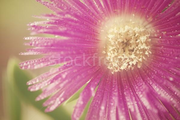 Pink Stock photo © pedrosala