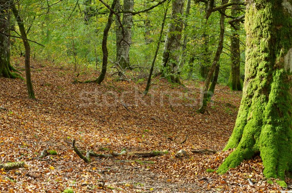 Bos mos jungle boom blad bomen Stockfoto © pedrosala