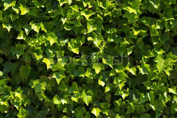 Klimop hoog textuur muur natuur Stockfoto © pedrosala