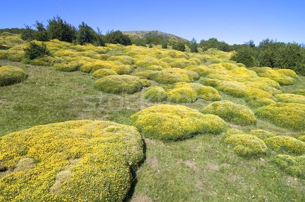 Amarelo prado textura natureza árvores campo Foto stock © pedrosala
