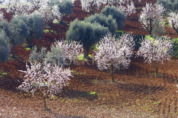 Mező virágzó mandula olajbogyó fák virág Stock fotó © pedrosala