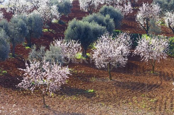 Campo florescimento amêndoa oliva árvores flor Foto stock © pedrosala
