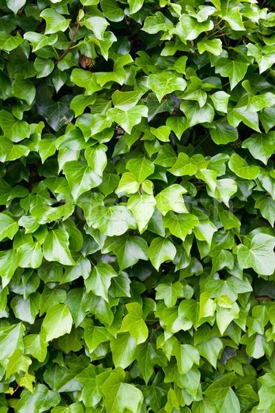 Sarmaşık yüksek karar doğa yaprak bahçe Stok fotoğraf © pedrosala