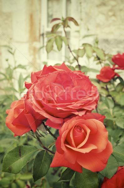 Rose Stock photo © pedrosala