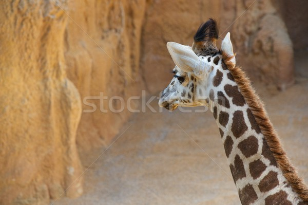 Giraffe in a zoo Stock photo © pedrosala