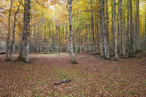 autumnal beech forest Stock photo © pedrosala