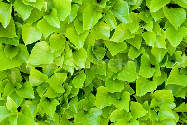 Ivy background Stock photo © pedrosala