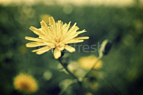 Flor silvestre diseno fondo verde hermosa Foto stock © pedrosala