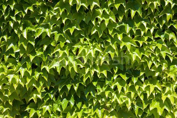 Klimop hoog muur natuur blad Stockfoto © pedrosala