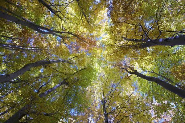 beech forest Stock photo © pedrosala