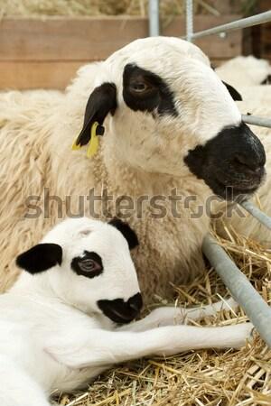 羊 クローズアップ イースター 自然 夏 ストックフォト © pedrosala