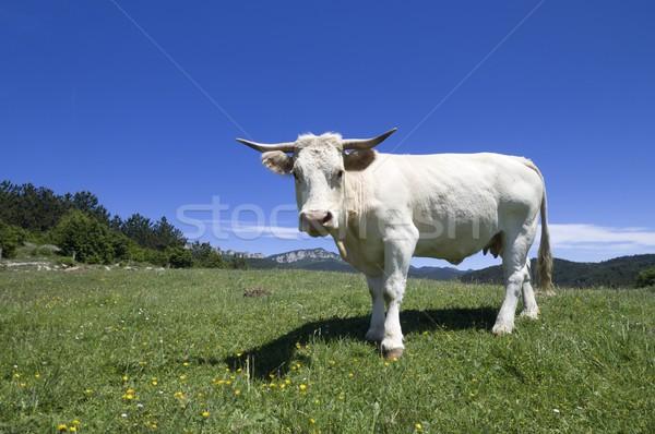 cow threatening Stock photo © pedrosala