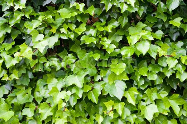 ツタ 高い 壁 自然 葉 ストックフォト © pedrosala