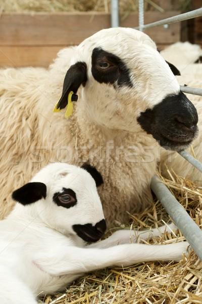 Sheep close up Stock photo © pedrosala