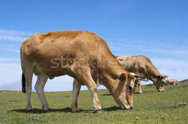 cows Stock photo © pedrosala