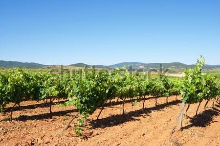 Vineyard Stock photo © pedrosala