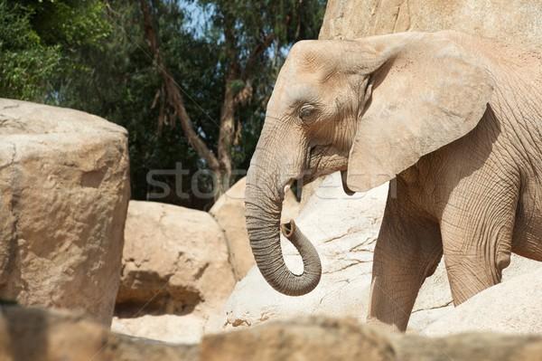 Elephant walking Stock photo © pedrosala