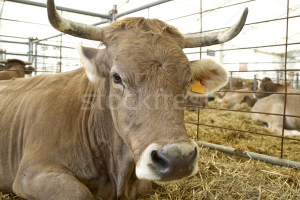 Cow Stock photo © pedrosala