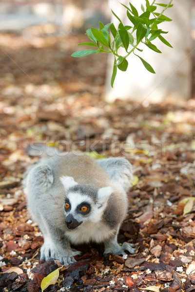Ring-tailed Lemur Stock photo © pedrosala