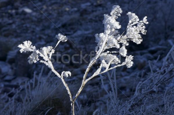 Gelo impianto naturale parco erba abstract Foto d'archivio © pedrosala
