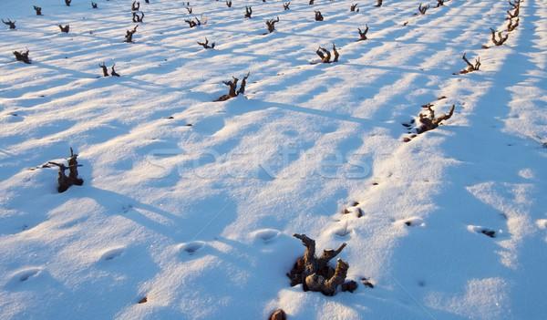 snowy vineyard Stock photo © pedrosala
