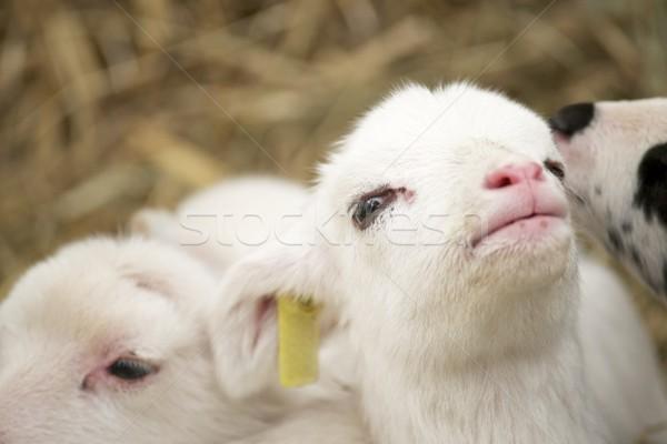мало ягненка ребенка лице природы Сток-фото © pedrosala