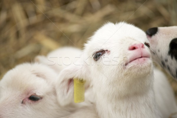 Pequeño cordero primer plano bebé cara naturaleza Foto stock © pedrosala